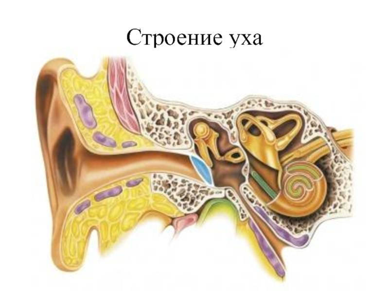 Основные заболевания ушей у кошек