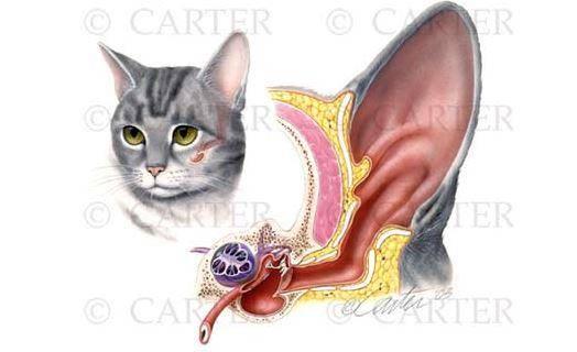 Строение ушей кошки: анатомия, уход, заболевания - новости, статьи и обзоры