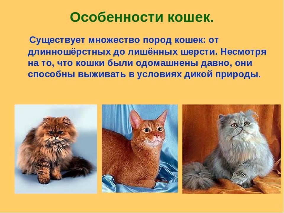 Тонкинская кошка: 85 фото породы и ее характеристика. особенности ухода за кошкой