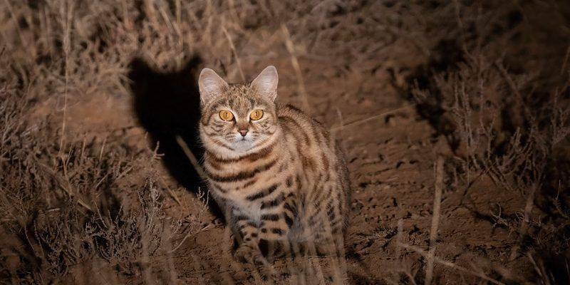 Черноногая кошка | мир животных и растений