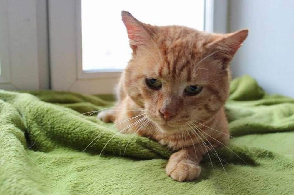 Вирусная лейкемия кошек лечение - муркин дом