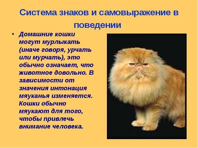 Коты мурчат — почему это происходит и что означает мурчание