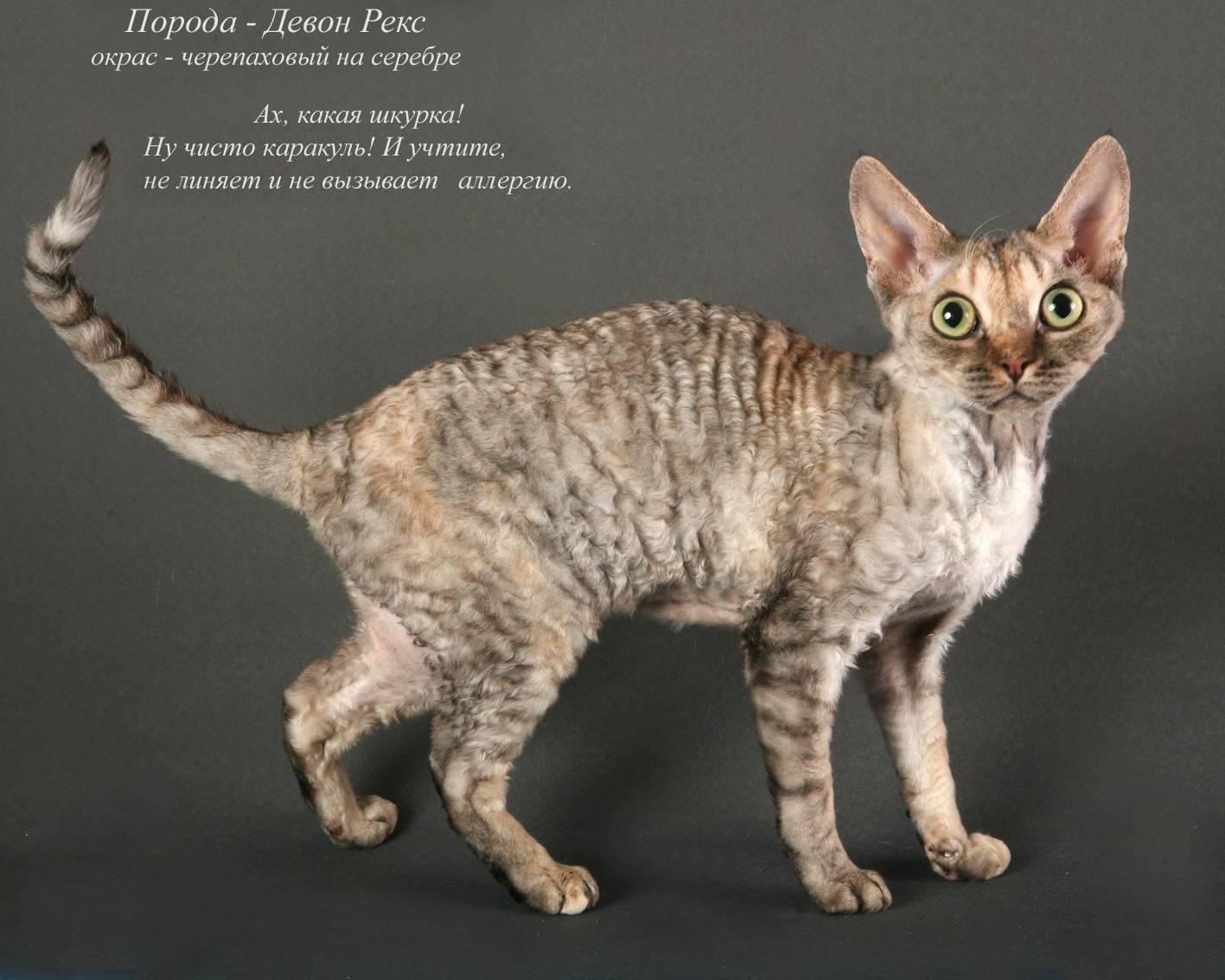 Редкие породы кошек: характеристики необычных питомцев и отзывы их владельцев