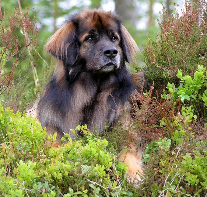 Леонбергер (фото): домашняя копия льва немецких кровей - kot-pes