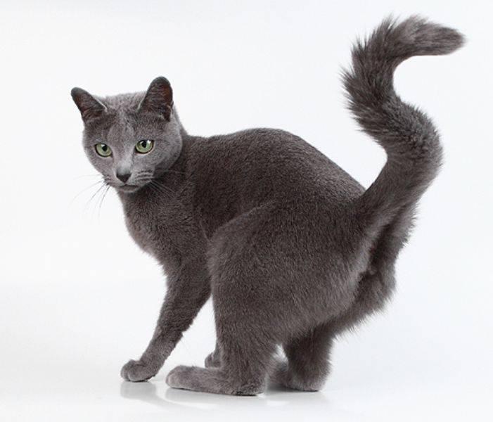 Течка у кошек