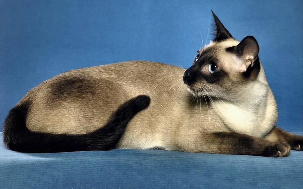 Самые долгоживущие породы кошек