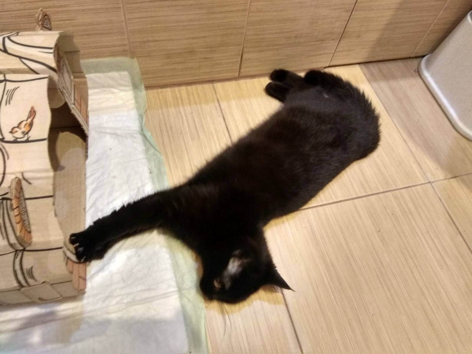 Почему кот не наступает на лапу?