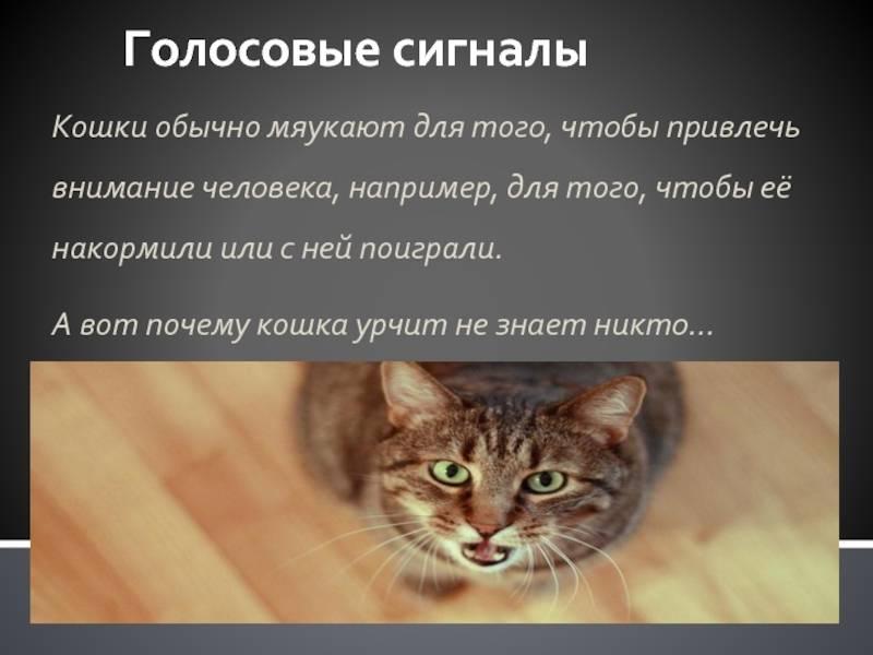 Как отучить кота орать: без причины, под дверью в одиночестве или по ночам