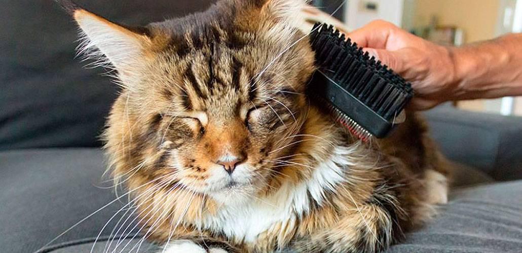Уход за мейн-куном, здоровье, кормление взрослых кошек и котят