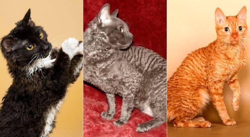 Уральский рекс: описание и фото кудрявой кошки, особенности содержания и ухода