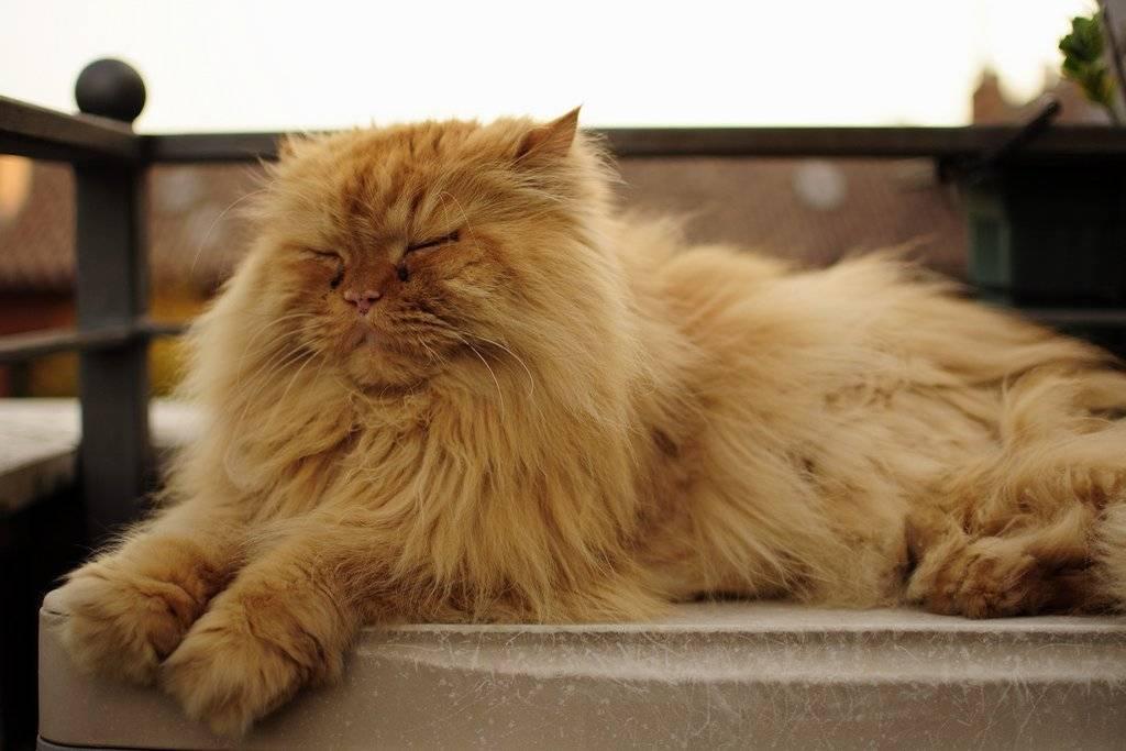 Сколько лет живут кошки персидские — о животных на чистоту