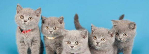 Как правильно воспитывать и ухаживать за британским котенком