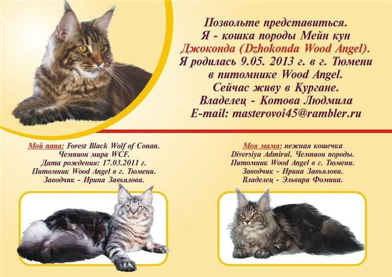 Коты породы мейн кун: описание, характер и повадки, отзывы владельцев