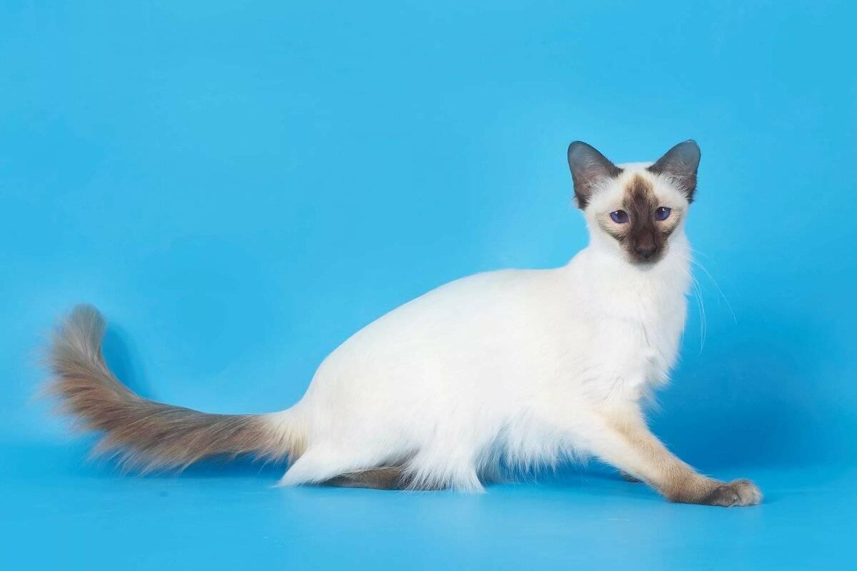 Балинезийская кошка: фото и описание породы, характер животного и особенности содержания