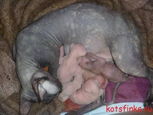 Сколько длится течка у кошек, и как облегчить страдания животных - мир кошек