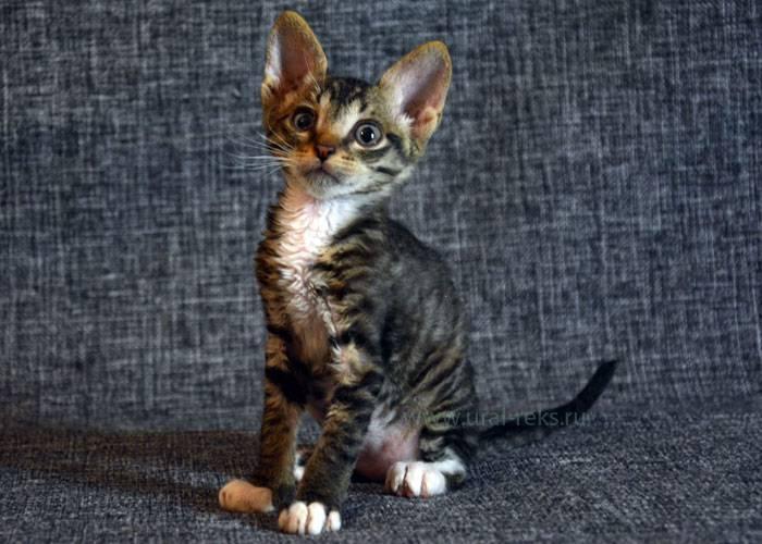 Самые маленькие кошки: породы на выбор