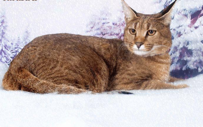 Каракет гибридная порода кошек похожих на рысь
