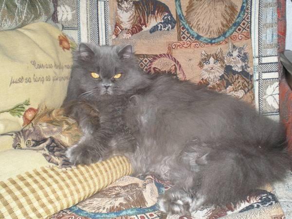 Средняя продолжительность жизни британских котов — о животных на чистоту