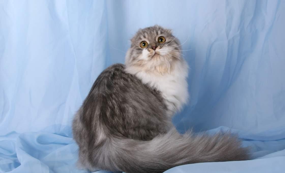 Персидская кошка — узнайте все о породе здесь! фото, описание, характер, цена, отзывы, содержание, окрас, уход за шерстью, все о персидской кошке от а до я