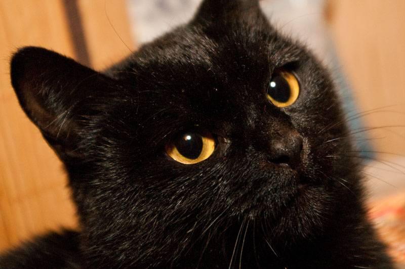 Все приметы о черных котах: держать в доме, встретить на улице, сбить животное