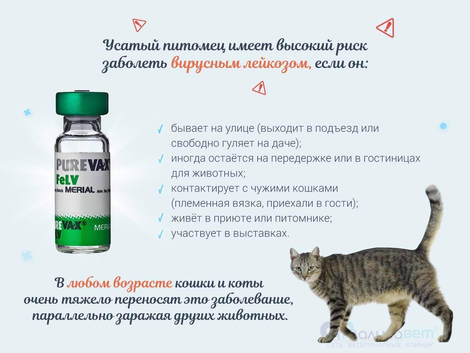 Вирусная лейкемия у кошек: симптомы и лечение