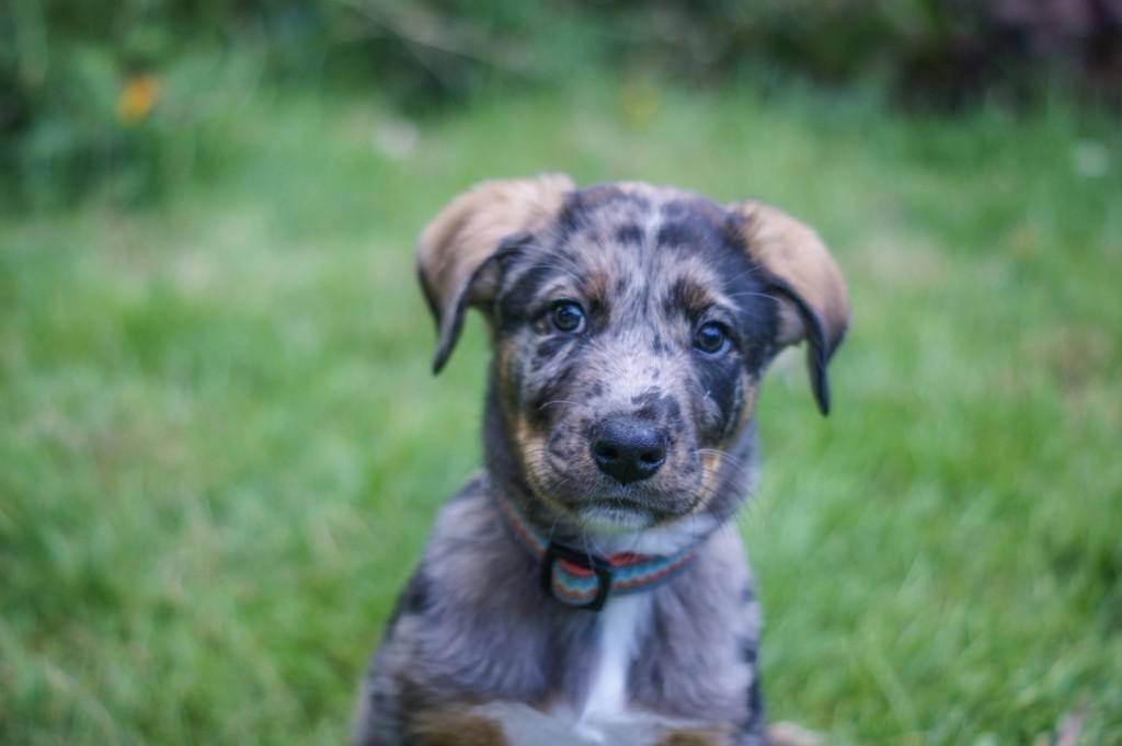 Леопардовая собака катахулы: описание, фото, уход, цена   все о собаках