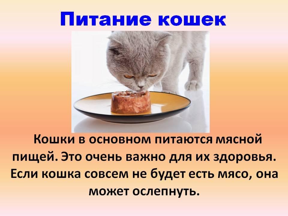 Советы ветеринаров, чем кормить британского котенка, и как правильно ухаживать