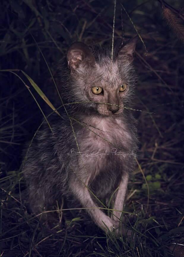 Ликой: оборотень в кошачьей шкуре