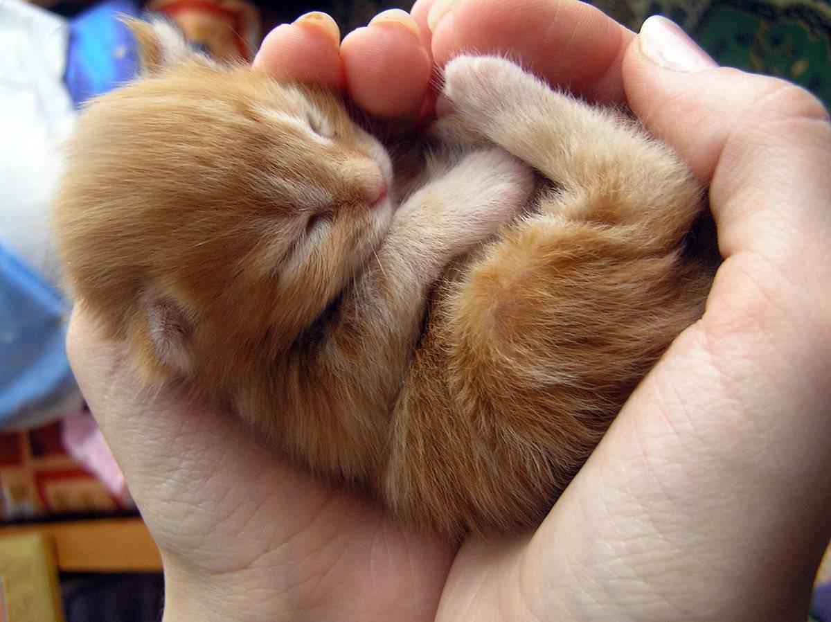 Когда котята открывают глаза после рождения: особенности у разных пород. через сколько дней питомцы начинают видеть окружающий мир