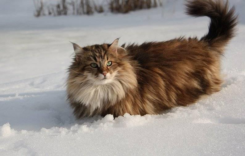 Норвежская лесная кошка – северная красавица в шикарной шубе