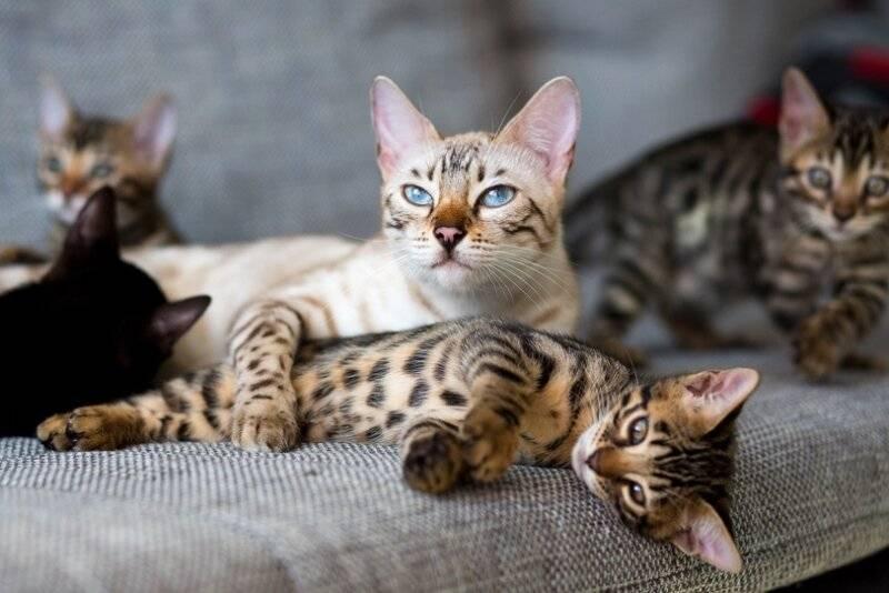 Бенгальские кошки – домашние леопарды
