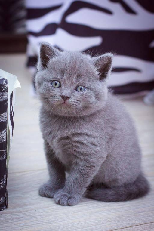 Сколько стоит британский котенок - оценивайте правильно