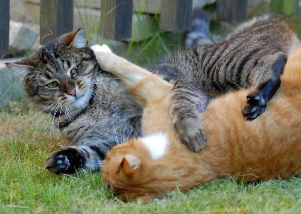Две кошки в доме: как их подружить?