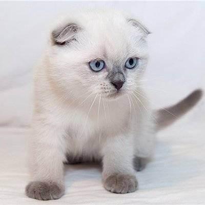 Вязка шотландских вислоухих кошек: правила подбора пары с учетом окраса
