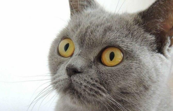 Почему у британской кошки слезятся глаза после еды