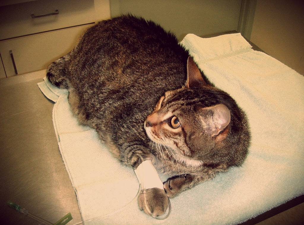 Абсцесс у кота: виды, причины, симптомы, диагностика и лечение