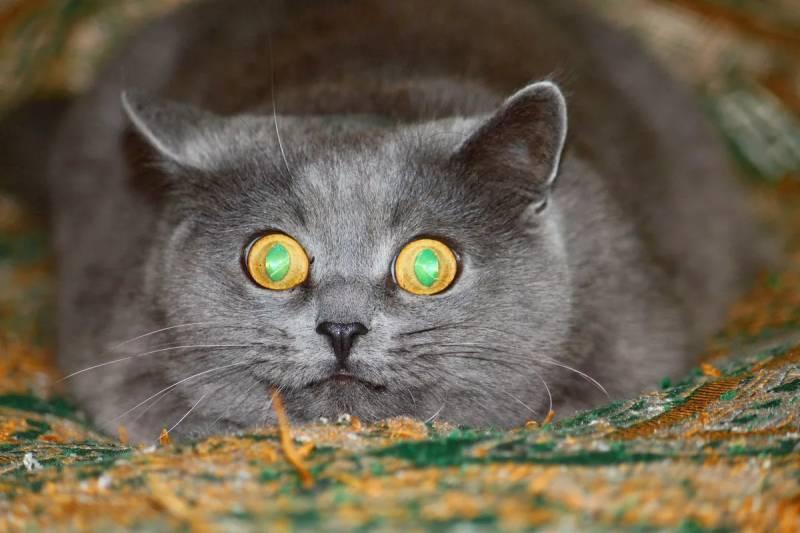 Черный кот с зелеными глазами: краткое описание, особенности окраса, фото