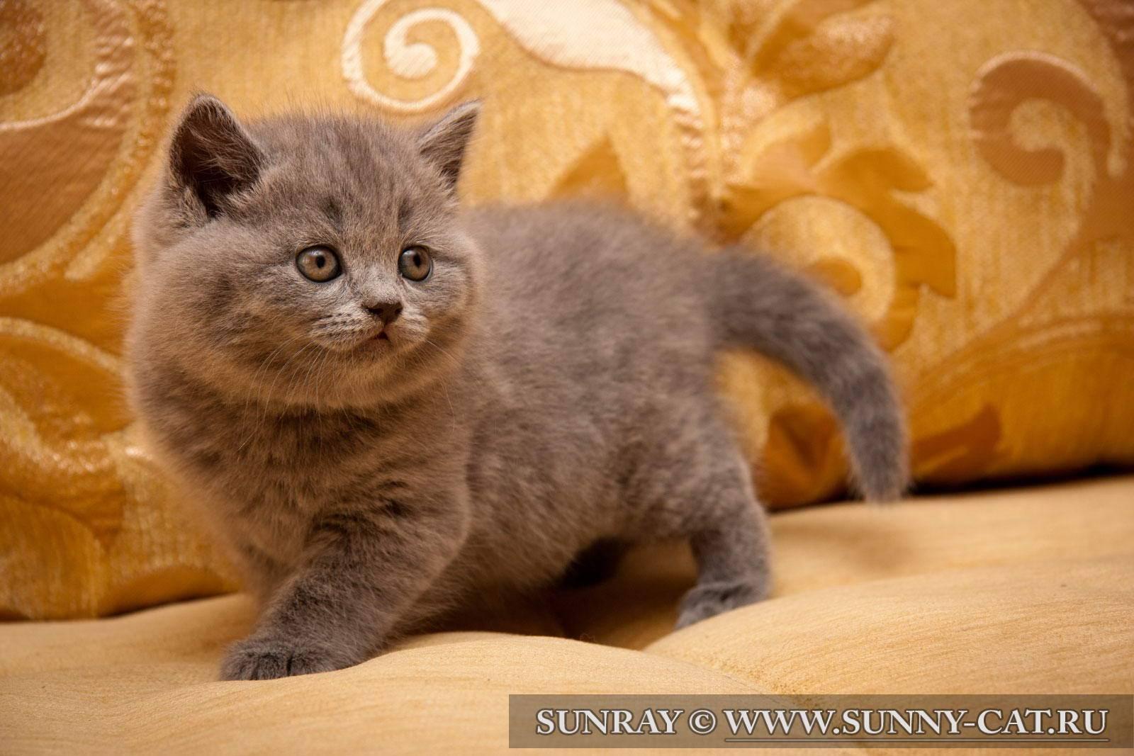 Британские котята: фото, цена или сколько стоит британский котенок? цена на британскую кошку, кота и котенка: голубые, золотые, шиншиллы, лиловые, белые, черные, шоколадные, кремовые, вискас, рыжие, мраморные, полосатые, пятнистые и др.