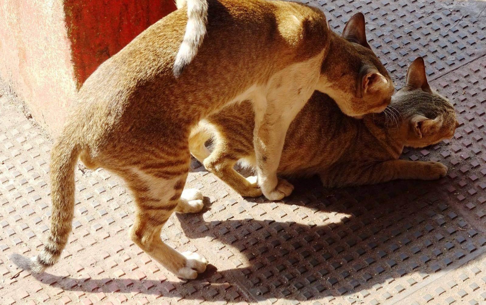 Половая охота котов