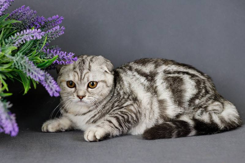 Окрасы шотландских кошек: фото и описание
