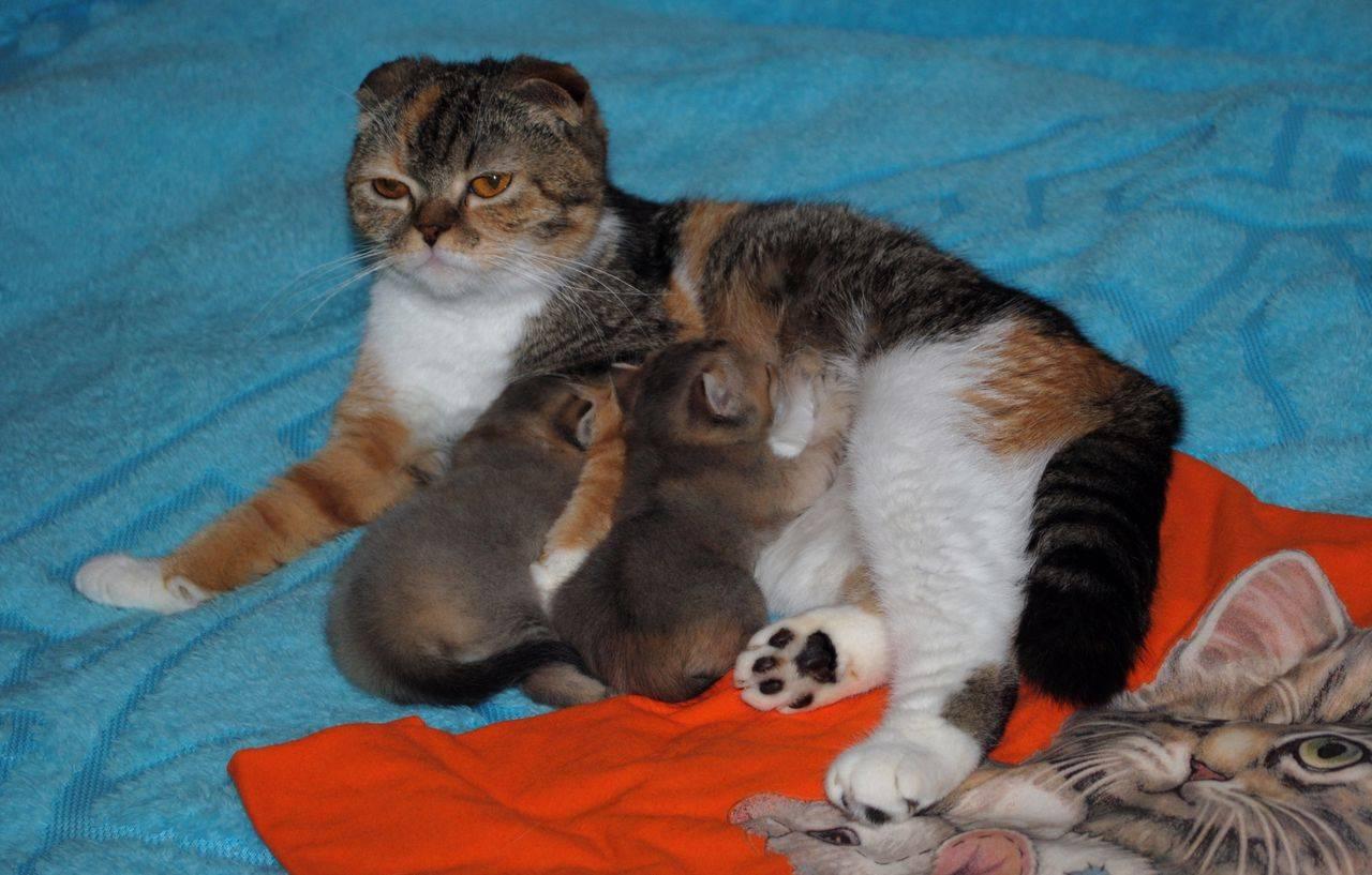 Сколько длится беременность у кошек: причины влияющие на сроки