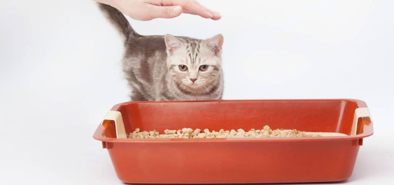 Как ухаживать за вислоухим шотландским котенком? особенности содержания и питания скоттиш-фолда. как правильно приучить к лотку?