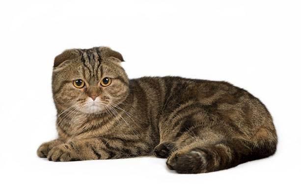 Как ухаживать за глазами котенка шотландца. шотландская вислоухая кошка: характер, описание породы, чем кормить. шотландская вислоухая кошка – характер.