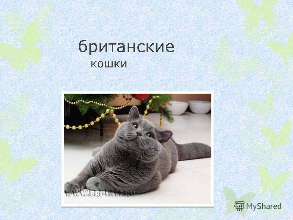 Британская короткошерстная кошка: описание породы и фото
