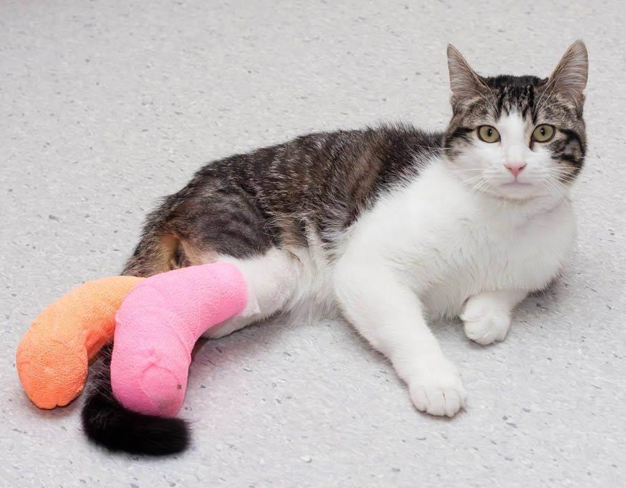 У кота отказали задние лапы: причины, почему кот не может встать, волочит ноги, перед родами, при травме позвоночника, лечение