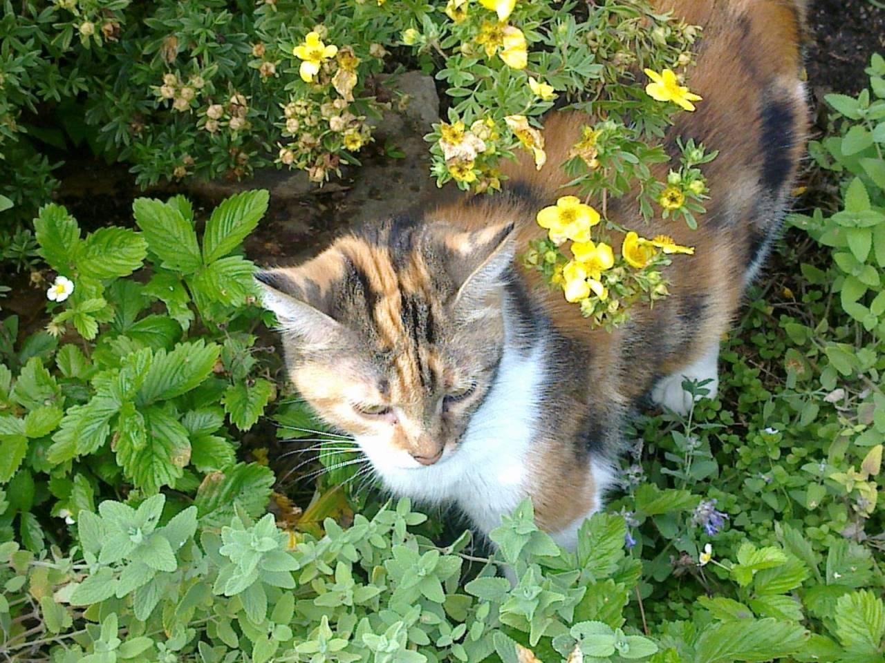 Кошачья мята: для чего нужна, где она растёт, описание растения, особенности применения, можно ли выращивать в домашних условиях, фото