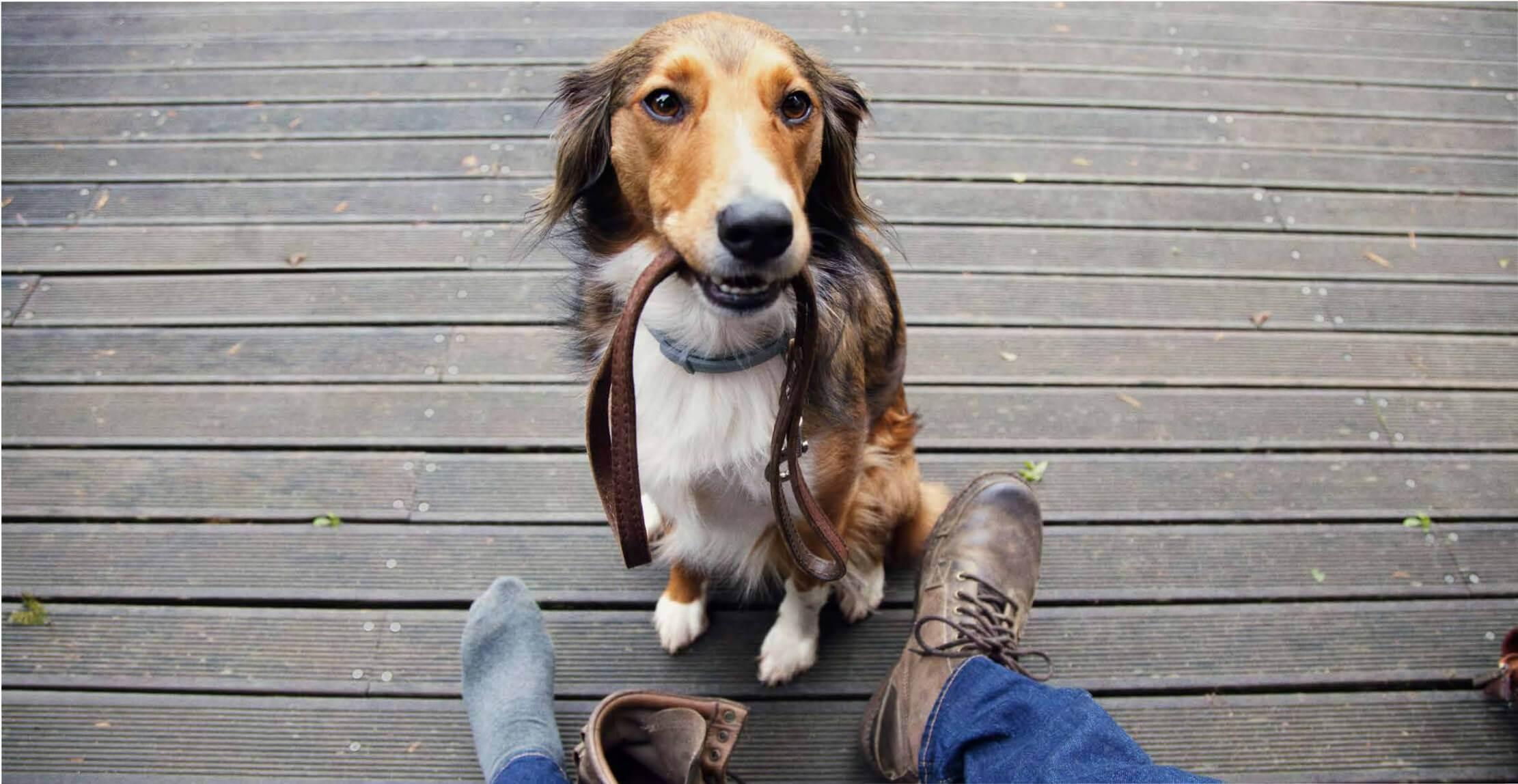 Ошейник форесто для собак: описание и особенности