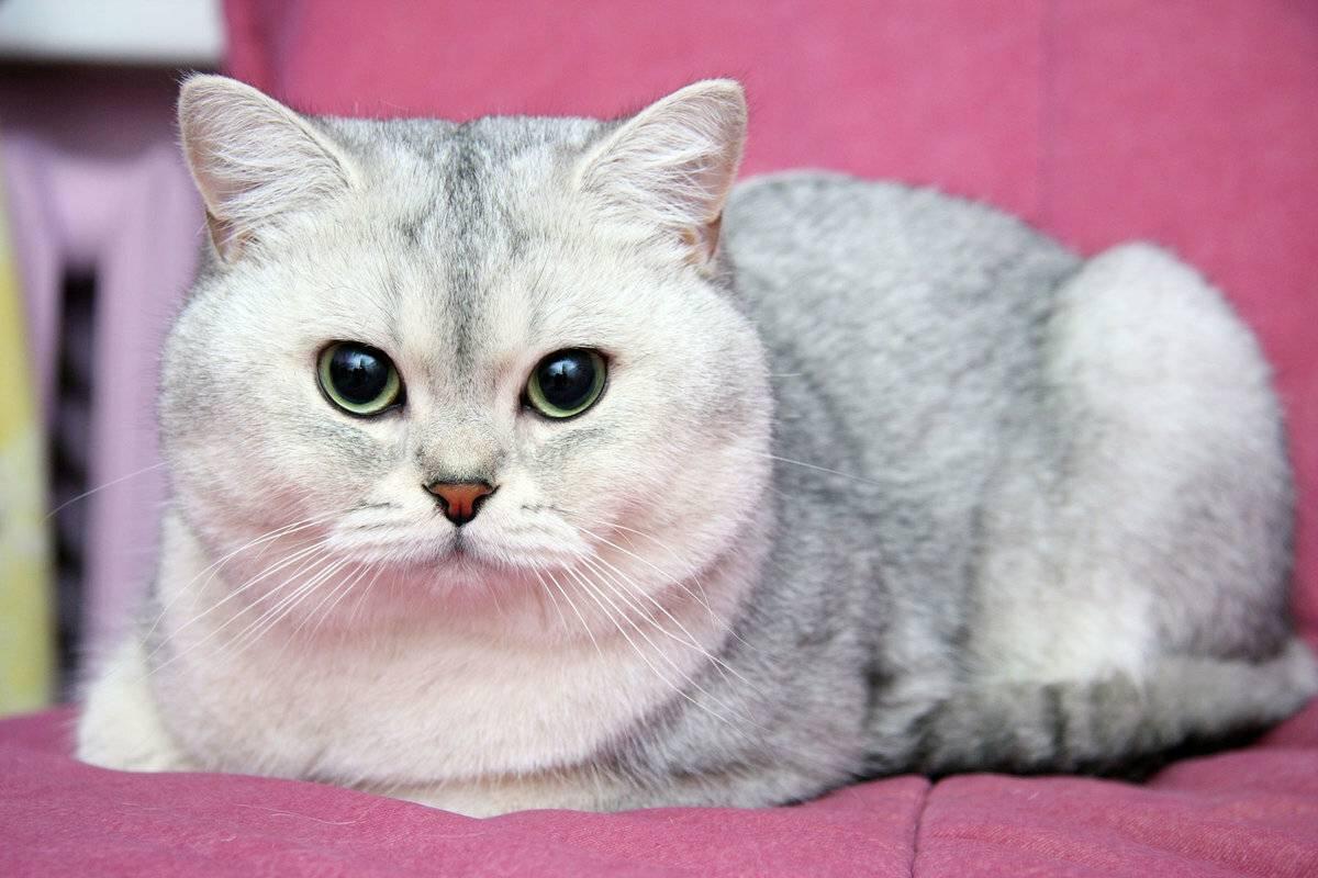 Настоящие английские джентльмены: знакомимся с британскими кошками шиншиллами