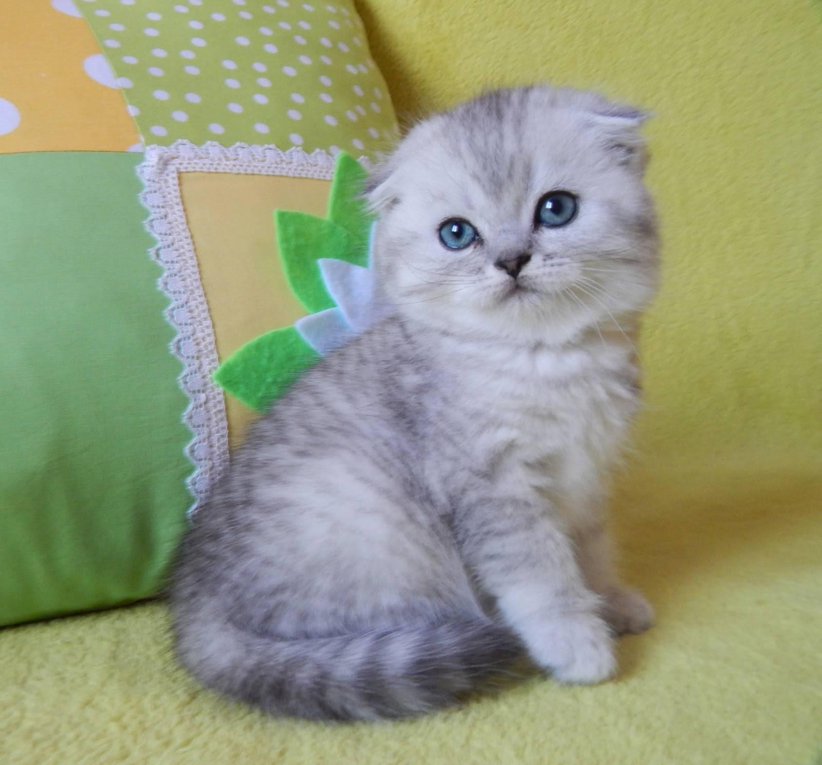 Имена для шотландских вислоухих кошек девочек
