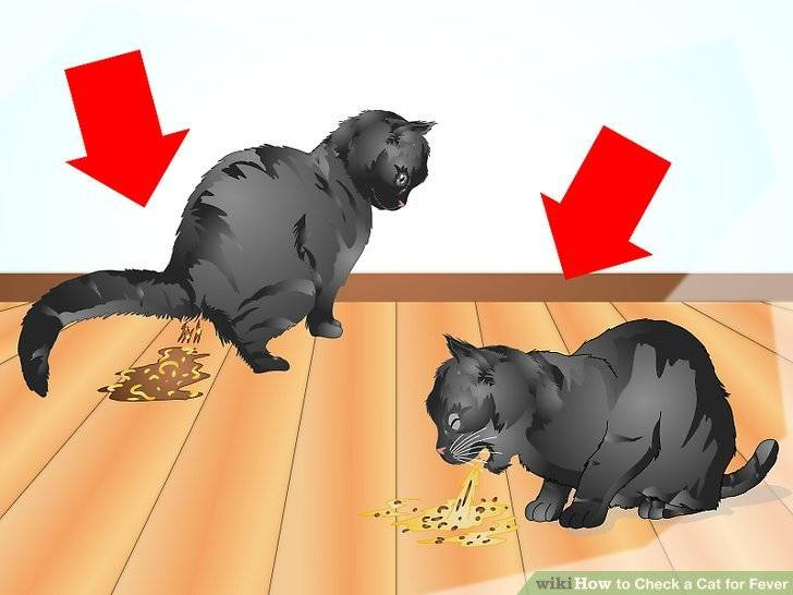 Что делать, если у кошки или кота рвота?